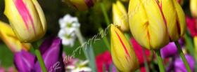 free pink yellow tulips nature facebook cover