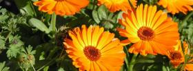 free orange big flowers nature facebook cover