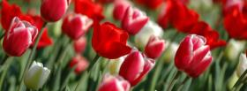 free tulip nature facebook cover