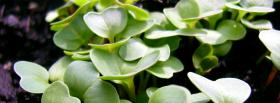 free radishes flowers nature facebook cover